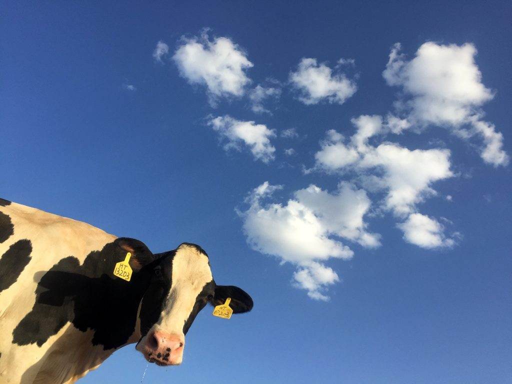 jersey cow against a blue sky backdrop