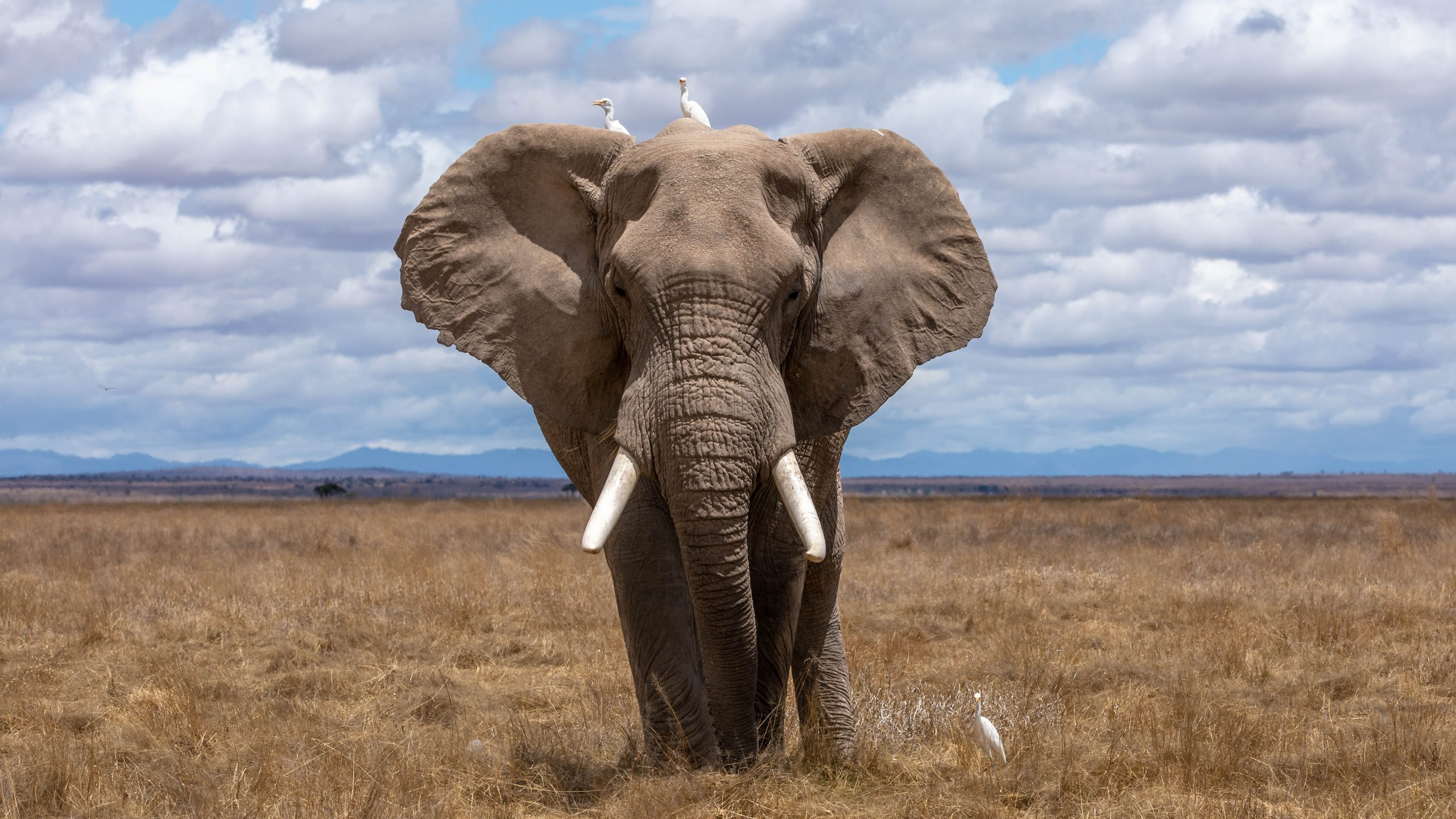 Solitary African bull elephant pictured head on in a sunny, open African plane.