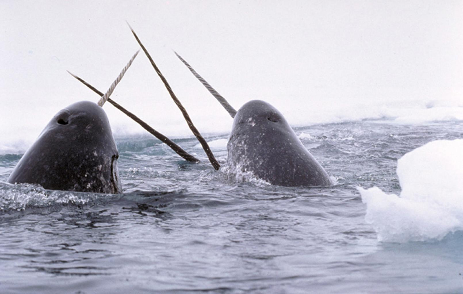 Narwhals coming up for air.