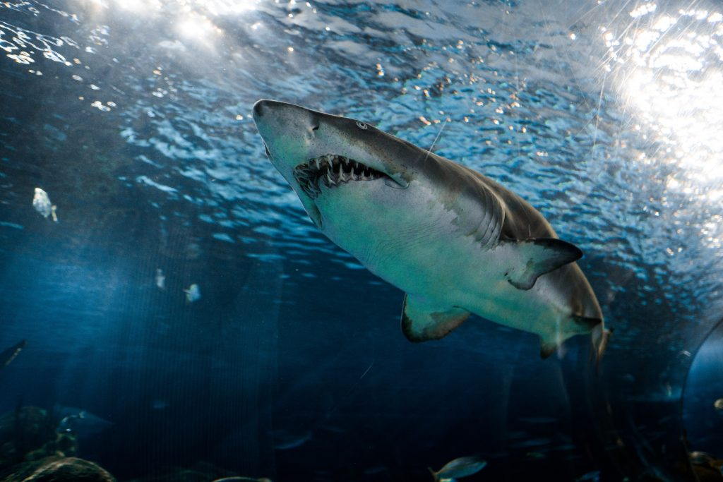 single great white shark, shot from below